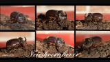 Neushoornkever gespot in Achterbos